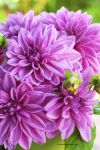 Freshly Picked Dahlias from My Garden by theresahelmer