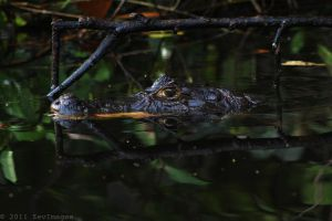 Costa Rica Caiman by TimberClipse