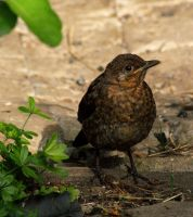 Little Blackbird by little--grasshopper