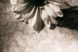 Daisy Background II 'Old' by Shanibelle