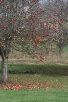Apple Tree 1 by JewelsStock
