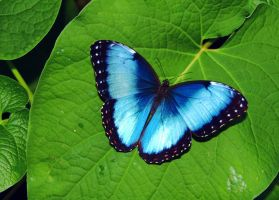 Blue Morpho Iridescence by TheSleepyRabbit