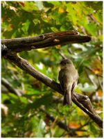 Eastern Wood Pewee by Ryser915