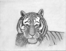 Tiger Drawing Graphite 01 by Chrysos-Argyros