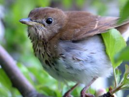 Veery Pretty Song Bird by RocksRose