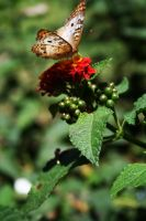 Sunday Butterfly The 2nd by TASmith