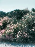 pink bushes by ftourini-stock