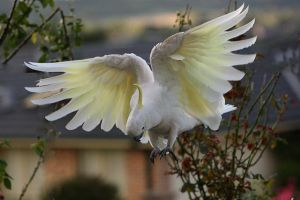Sulphur Crested Cockatoo 31 by chezem