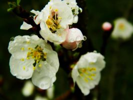 apricot blossom 2 by veykava