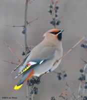 Bohemian Waxwing by Les-Piccolo