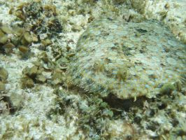 TME Akumal, Mexico: Hidden Flounder by Namyr