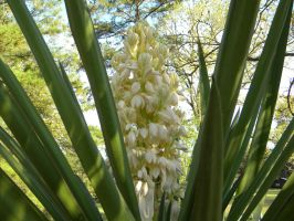 Yucca grandiflora by TheLordTaxus