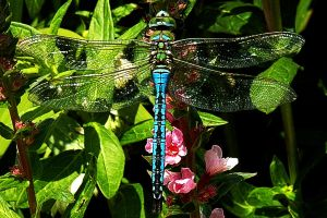 Dragonfly at Rest by EarthHart