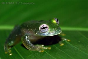 Glass Frog Looking Out by MonarchzMan