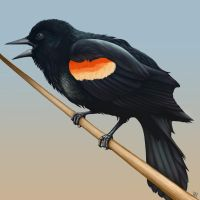 Red-winged Blackbird by hypercrabby
