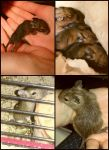 Baby Degus by janciss