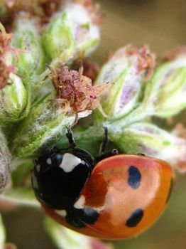 LADYBIRD 3 by iriscup