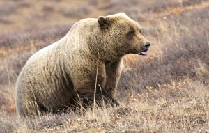 Bear tongue by JWFisher