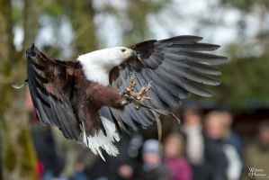 2010-195 African Fish Eagle by W0LLE