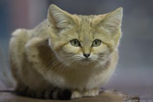 Sand Cat by vetchyKocour