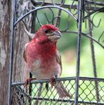 Male Purple Finch by JocelyneR
