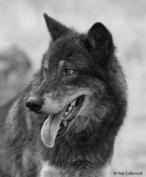 black wolf profile 2 by Yair-Leibovich