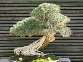 Bonsai 2 by Jonwaba