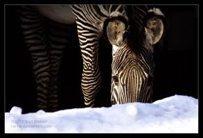 Zebra in Shadow and Snow by Karl-B
