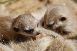 Little meerkats by Miriam83