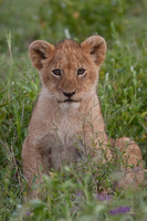 Lion Cub - 5933 by eight-eight