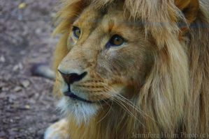 The One Lion. by jennifereholm