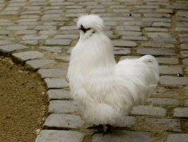 Silkie chicken by vetmunich
