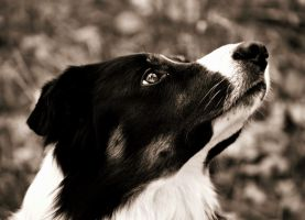 A Border collie by Honeycorn
