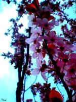 .cherry blossoms vii by mizderi