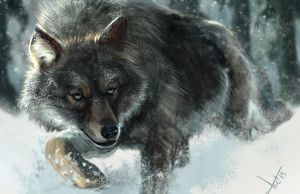 Wolf Study by victter-le-fou