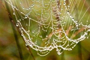 pearls on web by scubapic