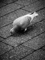 Pigeon by LilyBeePhoto