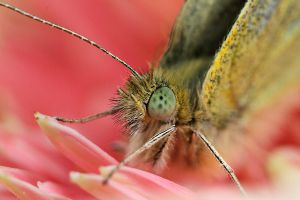 Pieris brassicae 2 by RichardConstantinoff