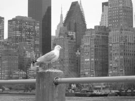 Gull in NYC by metrogirls