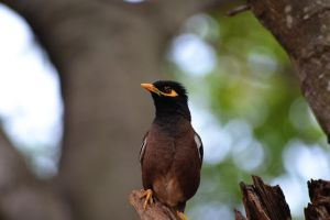 Acridotheres tristis by vik1067
