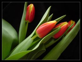 Tulips II by Anere
