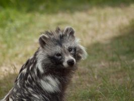 Raccoon Dog - June 10 by mszafran