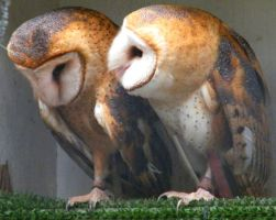 barn owls by covette