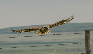 Ferruginous Hawk VIII by Kaptive8