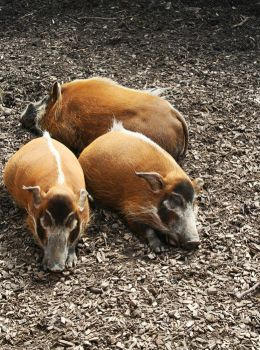 The three little pigs by SheNala