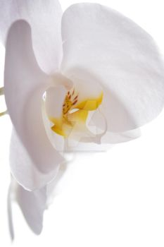 Orchid by christinephotog