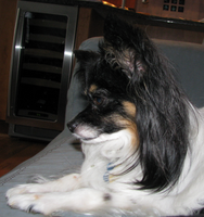 Papillon Profile by gir-is-me