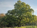 Ancient Oak at Sunset by Gerard1972