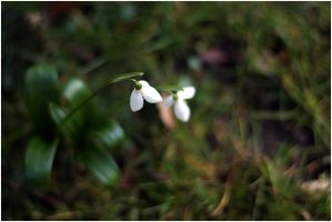 Snowdrop - It's spring again by feese