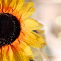 Sunflowers III by FrancescaDelfino
